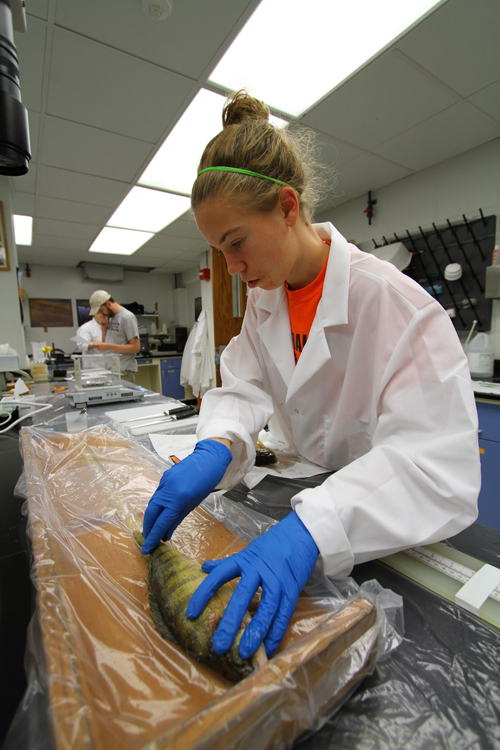 Students process yellow perch