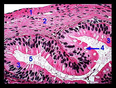 Lab 2 Microscopy And The Study Of Tissues Zoo Lab Uw La Crosse